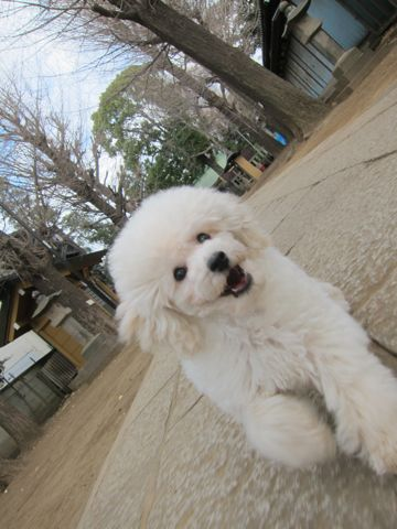 プードルフントヒュッテ東京トイプードルかわいい子犬こいぬ文京区本駒込hundehutte仔犬プードルショータイプブリーダープードルカットトイプードル画像400.jpg