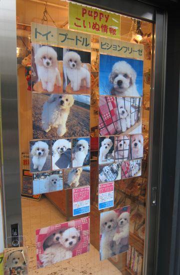 プードルフントヒュッテ東京トイプードルかわいい子犬こいぬ文京区本駒込hundehutte仔犬プードルショータイプブリーダープードルカットトイプードル画像404.jpg