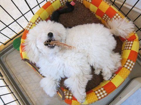 プードルフントヒュッテ東京トイプードルかわいい子犬こいぬ文京区本駒込hundehutte仔犬プードルショータイプブリーダープードルカットトイプードル画像401.jpg