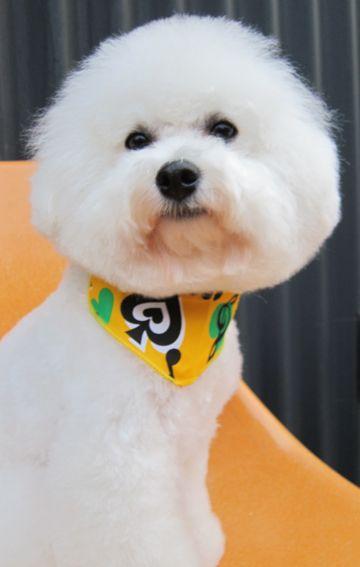 ビションフリーゼトリミング文京区フントヒュッテビションかわいい子犬ナノオゾンペットシャワー使用トリミングサロン都内ビションカット犬ハーブパック効果8.jpg