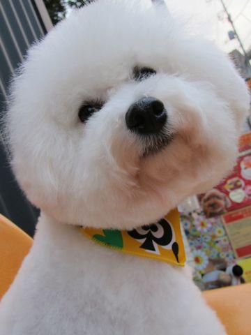 ビションフリーゼトリミング文京区フントヒュッテビションかわいい子犬ナノオゾンペットシャワー使用トリミングサロン都内ビションカット犬ハーブパック効果9.jpg