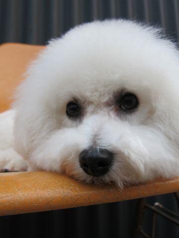 ビションフリーゼトリミング文京区フントヒュッテビションかわいい子犬ナノオゾンペットシャワー使用トリミングサロン都内ビションカット犬ハーブパック効果10.jpg