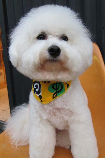 ビションフリーゼトリミング文京区フントヒュッテビションかわいい子犬ナノオゾンペットシャワー使用トリミングサロン都内ビションカット犬ハーブパック効果11.jpg