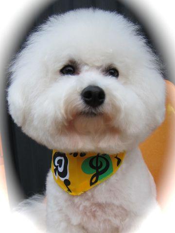 ビションフリーゼトリミング文京区フントヒュッテビションかわいい子犬ナノオゾンペットシャワー使用トリミングサロン都内ビションカット犬ハーブパック効果12.jpg