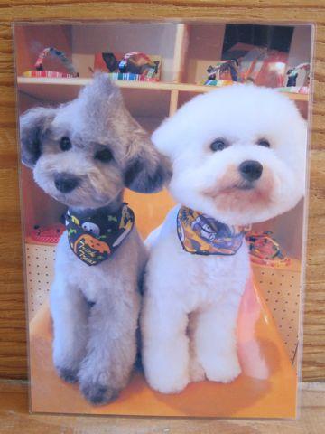 ビションフリーゼトリミング文京区フントヒュッテビションかわいい子犬ナノオゾンペットシャワー使用トリミングサロン都内ビションカット犬ハーブパック効果13.jpg