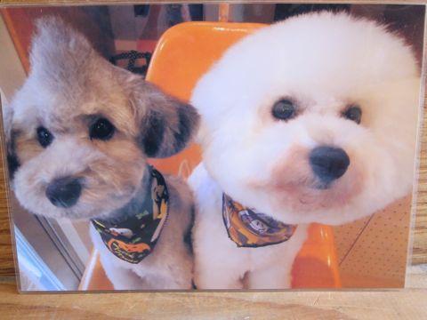 ビションフリーゼトリミング文京区フントヒュッテビションかわいい子犬ナノオゾンペットシャワー使用トリミングサロン都内ビションカット犬ハーブパック効果14.jpg