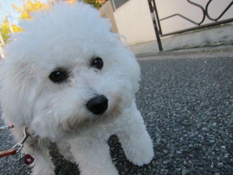 ビションフリーゼトリミング文京区フントヒュッテビションかわいい子犬ナノオゾンペットシャワー使用トリミングサロン都内ビションカット犬ハーブパック効果16.jpg
