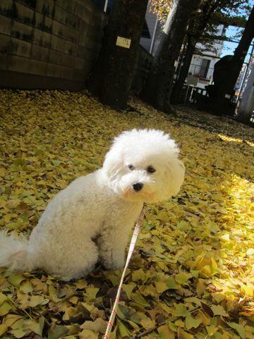 ビションフリーゼトリミング文京区フントヒュッテビションかわいい子犬ナノオゾンペットシャワー使用トリミングサロン都内ビションカット犬ハーブパック効果22.jpg