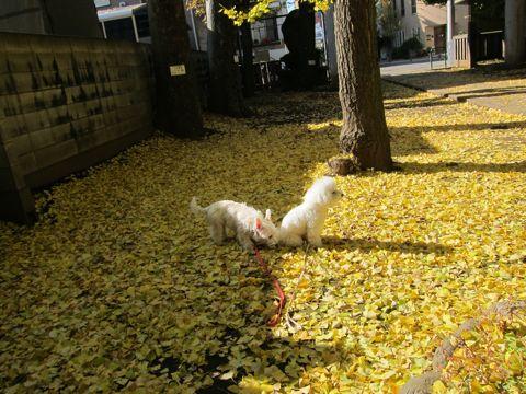 ビションフリーゼトリミング文京区フントヒュッテビションかわいい子犬ナノオゾンペットシャワー使用トリミングサロン都内ビションカット犬ハーブパック効果23.jpg