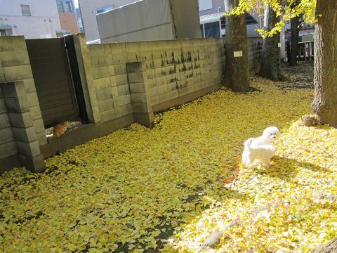 ビションフリーゼトリミング文京区フントヒュッテビションかわいい子犬ナノオゾンペットシャワー使用トリミングサロン都内ビションカット犬ハーブパック効果24.jpg