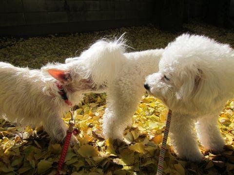 ビションフリーゼトリミング文京区フントヒュッテビションかわいい子犬ナノオゾンペットシャワー使用トリミングサロン都内ビションカット犬ハーブパック効果25.jpg