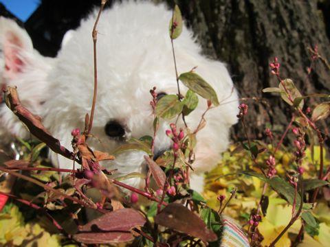 ビションフリーゼトリミング文京区フントヒュッテビションかわいい子犬ナノオゾンペットシャワー使用トリミングサロン都内ビションカット犬ハーブパック効果26.jpg