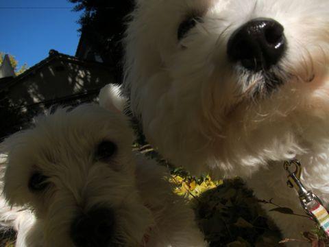ビションフリーゼトリミング文京区フントヒュッテビションかわいい子犬ナノオゾンペットシャワー使用トリミングサロン都内ビションカット犬ハーブパック効果27.jpg