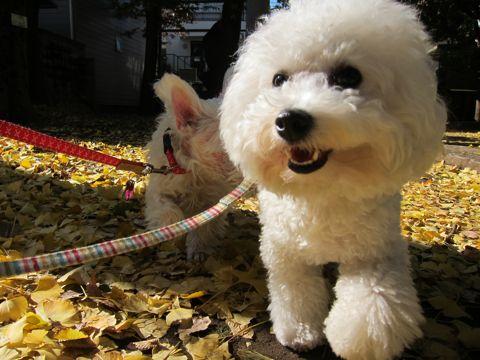 ビションフリーゼトリミング文京区フントヒュッテビションかわいい子犬ナノオゾンペットシャワー使用トリミングサロン都内ビションカット犬ハーブパック効果28.jpg