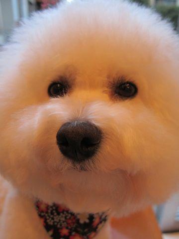 ビションフリーゼトリミング文京区フントヒュッテビションかわいい子犬ナノオゾンペットシャワー使用トリミングサロン都内ビションカット犬ハーブパック効果31.jpg