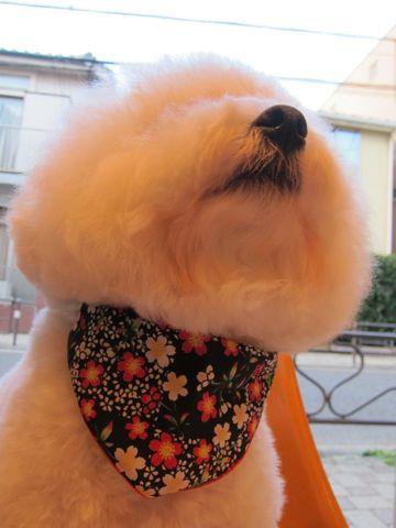ビションフリーゼトリミング文京区フントヒュッテビションかわいい子犬ナノオゾンペットシャワー使用トリミングサロン都内ビションカット犬ハーブパック効果32.jpg