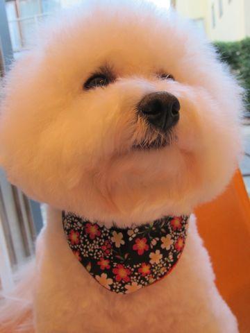 ビションフリーゼトリミング文京区フントヒュッテビションかわいい子犬ナノオゾンペットシャワー使用トリミングサロン都内ビションカット犬ハーブパック効果33.jpg