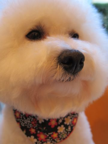 ビションフリーゼトリミング文京区フントヒュッテビションかわいい子犬ナノオゾンペットシャワー使用トリミングサロン都内ビションカット犬ハーブパック効果34.jpg