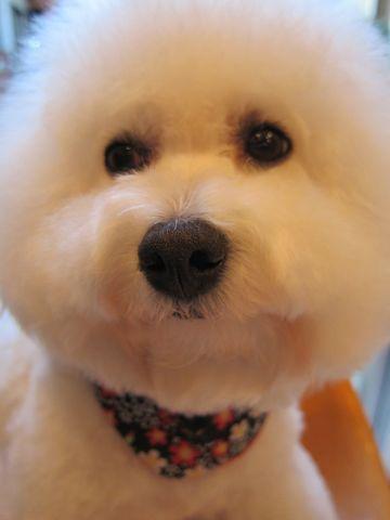 ビションフリーゼトリミング文京区フントヒュッテビションかわいい子犬ナノオゾンペットシャワー使用トリミングサロン都内ビションカット犬ハーブパック効果35.jpg