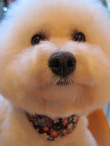 ビションフリーゼトリミング文京区フントヒュッテビションかわいい子犬ナノオゾンペットシャワー使用トリミングサロン都内ビションカット犬ハーブパック効果37.jpg