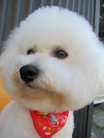 ビションフリーゼトリミング文京区フントヒュッテビションかわいい子犬ナノオゾンペットシャワー使用トリミングサロン都内ビションカット犬ハーブパック効果38.jpg