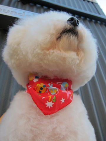 ビションフリーゼトリミング文京区フントヒュッテビションかわいい子犬ナノオゾンペットシャワー使用トリミングサロン都内ビションカット犬ハーブパック効果39.jpg
