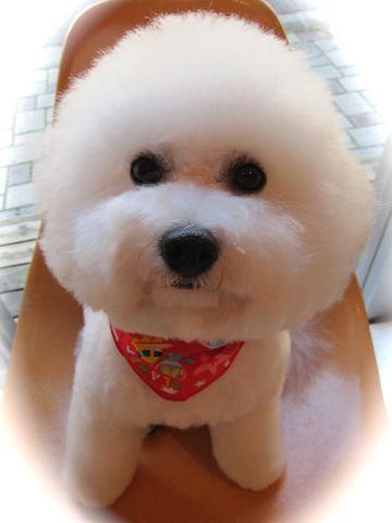 ビションフリーゼトリミング文京区フントヒュッテビションかわいい子犬ナノオゾンペットシャワー使用トリミングサロン都内ビションカット犬ハーブパック効果40.jpg