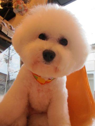 ビションフリーゼトリミング文京区フントヒュッテビションかわいい子犬ナノオゾンペットシャワー使用トリミングサロン都内ビションカット犬ハーブパック効果42.jpg