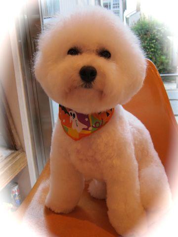 ビションフリーゼトリミング文京区フントヒュッテビションかわいい子犬ナノオゾンペットシャワー使用トリミングサロン都内ビションカット犬ハーブパック効果43.jpg