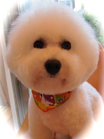 ビションフリーゼトリミング文京区フントヒュッテビションかわいい子犬ナノオゾンペットシャワー使用トリミングサロン都内ビションカット犬ハーブパック効果44.jpg
