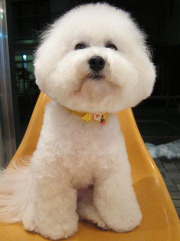 ビションフリーゼトリミング文京区フントヒュッテビションかわいい子犬ナノオゾンペットシャワー使用トリミングサロン都内ビションカット犬ハーブパック効果a.jpg
