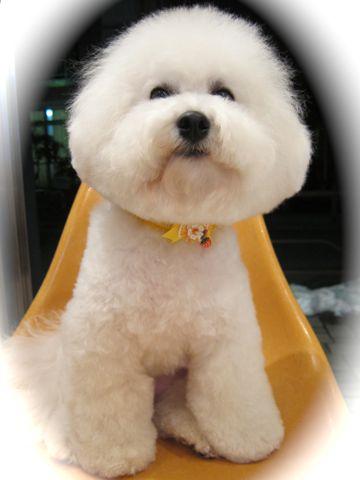 ビションフリーゼトリミング文京区フントヒュッテビションかわいい子犬ナノオゾンペットシャワー使用トリミングサロン都内ビションカット犬ハーブパック効果b.jpg