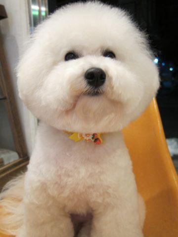 ビションフリーゼトリミング文京区フントヒュッテビションかわいい子犬ナノオゾンペットシャワー使用トリミングサロン都内ビションカット犬ハーブパック効果c.jpg