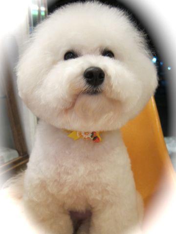 ビションフリーゼトリミング文京区フントヒュッテビションかわいい子犬ナノオゾンペットシャワー使用トリミングサロン都内ビションカット犬ハーブパック効果d.jpg