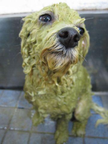 ビションフリーゼトリミング文京区フントヒュッテビションかわいい子犬ナノオゾンペットシャワー使用トリミングサロン都内ビションカット犬ハーブパック効果e.jpg