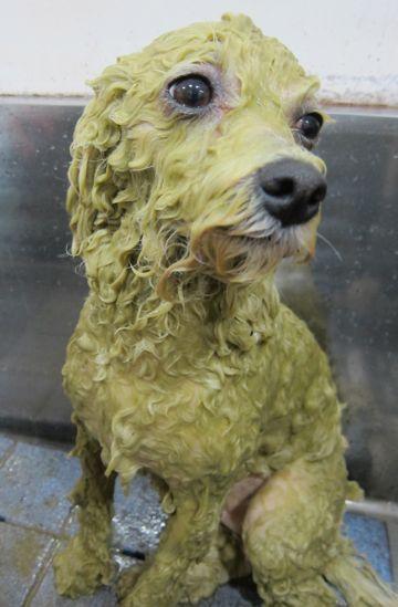 ビションフリーゼトリミング文京区フントヒュッテビションかわいい子犬ナノオゾンペットシャワー使用トリミングサロン都内ビションカット犬ハーブパック効果f.jpg