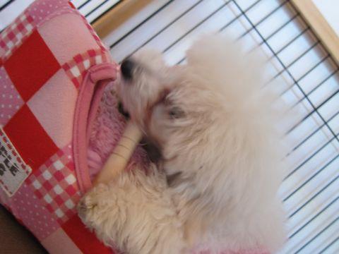 プードルフントヒュッテ東京トイプードルかわいい子犬こいぬ文京区本駒込hundehutte仔犬プードルショータイプブリーダープードルカットトイプードル画像408.jpg