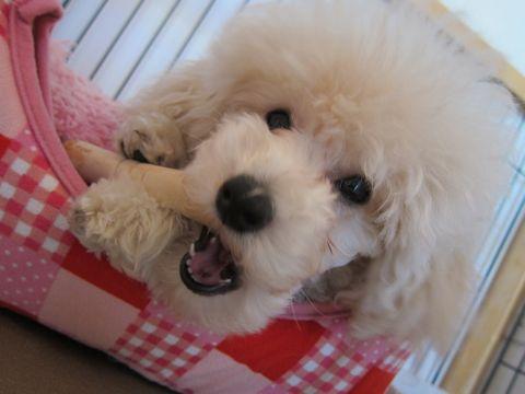 プードルフントヒュッテ東京トイプードルかわいい子犬こいぬ文京区本駒込hundehutte仔犬プードルショータイプブリーダープードルカットトイプードル画像410.jpg