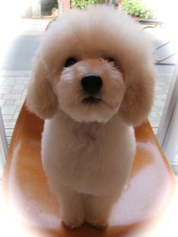 プードルフントヒュッテ東京トイプードルかわいい子犬こいぬ文京区本駒込hundehutte仔犬プードルショータイプブリーダープードルカットトイプードル画像419.jpg