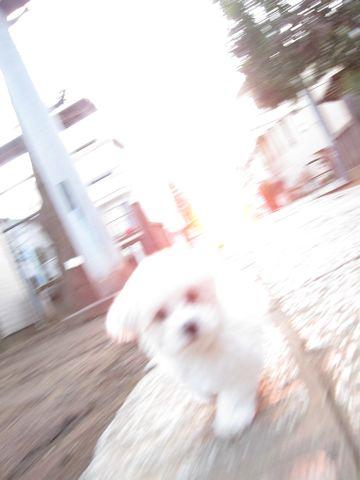 プードルフントヒュッテ東京トイプードルかわいい子犬こいぬ文京区本駒込hundehutte仔犬プードルショータイプブリーダープードルカットトイプードル画像425.jpg