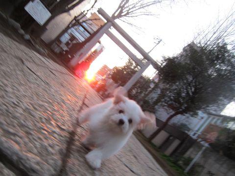 プードルフントヒュッテ東京トイプードルかわいい子犬こいぬ文京区本駒込hundehutte仔犬プードルショータイプブリーダープードルカットトイプードル画像428.jpg