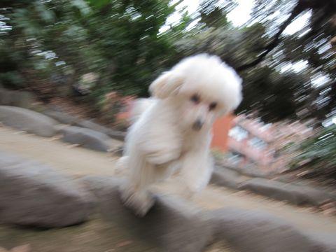 プードルフントヒュッテ東京トイプードルかわいい子犬こいぬ文京区本駒込hundehutte仔犬プードルショータイプブリーダープードルカットトイプードル画像435.jpg