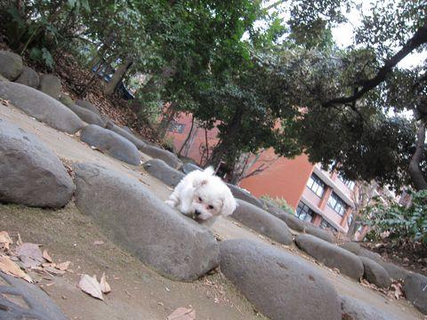 プードルフントヒュッテ東京トイプードルかわいい子犬こいぬ文京区本駒込hundehutte仔犬プードルショータイプブリーダープードルカットトイプードル画像436.jpg