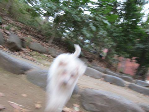 プードルフントヒュッテ東京トイプードルかわいい子犬こいぬ文京区本駒込hundehutte仔犬プードルショータイプブリーダープードルカットトイプードル画像437.jpg