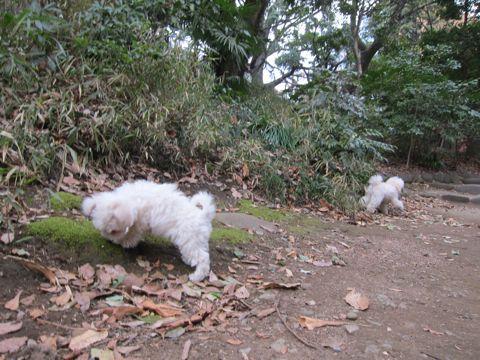 プードルフントヒュッテ東京トイプードルかわいい子犬こいぬ文京区本駒込hundehutte仔犬プードルショータイプブリーダープードルカットトイプードル画像439.jpg