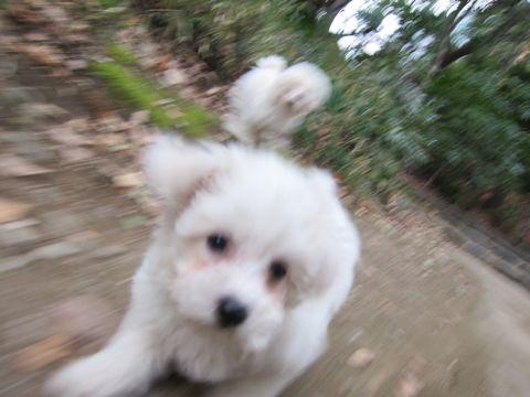 プードルフントヒュッテ東京トイプードルかわいい子犬こいぬ文京区本駒込hundehutte仔犬プードルショータイプブリーダープードルカットトイプードル画像441.jpg
