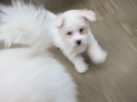 プードルフントヒュッテ東京トイプードルかわいい子犬こいぬ文京区本駒込hundehutte仔犬プードルショータイプブリーダープードルカットトイプードル画像444.jpg