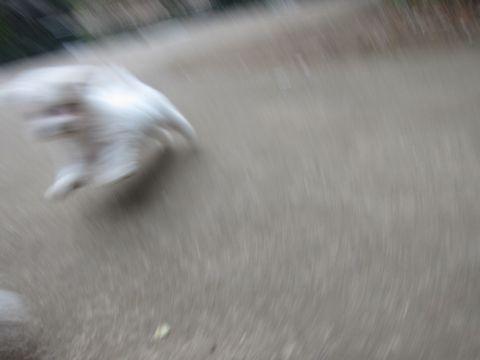 プードルフントヒュッテ東京トイプードルかわいい子犬こいぬ文京区本駒込hundehutte仔犬プードルショータイプブリーダープードルカットトイプードル画像445.jpg