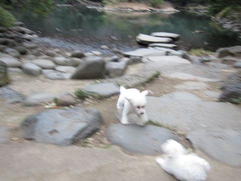 プードルフントヒュッテ東京トイプードルかわいい子犬こいぬ文京区本駒込hundehutte仔犬プードルショータイプブリーダープードルカットトイプードル画像449.jpg