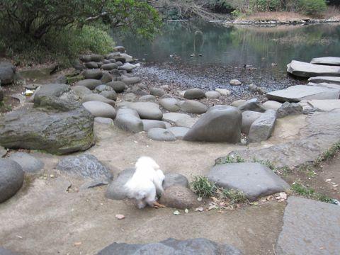プードルフントヒュッテ東京トイプードルかわいい子犬こいぬ文京区本駒込hundehutte仔犬プードルショータイプブリーダープードルカットトイプードル画像450.jpg